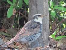 都内で野鳥撮影-ツグミ