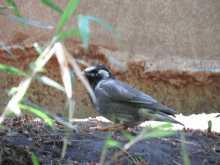 都内で野鳥撮影-ムクドリ
