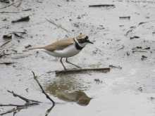 $都内で野鳥撮影-コチドリ
