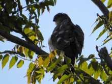 都内で野鳥撮影-ツミ