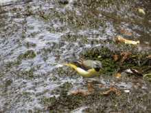 $都内で野鳥撮影-キセキレイ