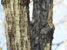 $都内で野鳥撮影-キバシリ