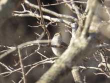 $都内で野鳥撮影-ウグイス