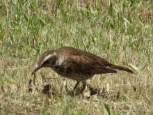 $都内で野鳥撮影-ツグミ
