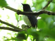 $都内で野鳥撮影-オオルリ
