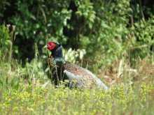 $都内で野鳥撮影-キジ