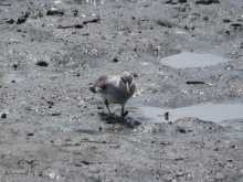 $都内で野鳥撮影-キアシシギ