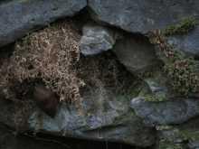 $都内で野鳥撮影-ミソサザイの巣