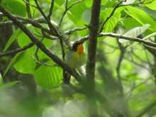 都内で野鳥撮影-キビタキ