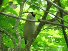 $都内で野鳥撮影-イカル