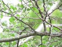 $都内で野鳥撮影-センダイムシクイ