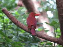 $都内で野鳥撮影-リュウキュウアカショウビン