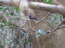 $都内で野鳥撮影-リュウキュウサンコウチョウ
