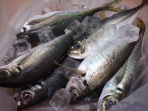 20100710釣りたてアジ