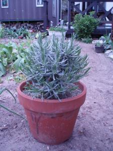 20110509ラベンダー鉢