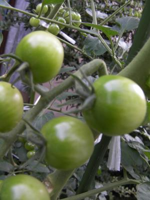 折れたトマト