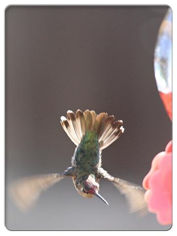 FC2_Humming Bird3