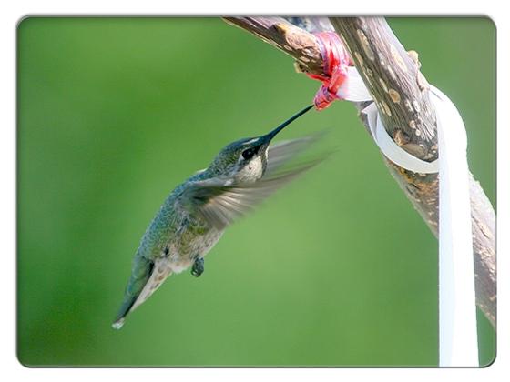FC2_Humming Bird 2