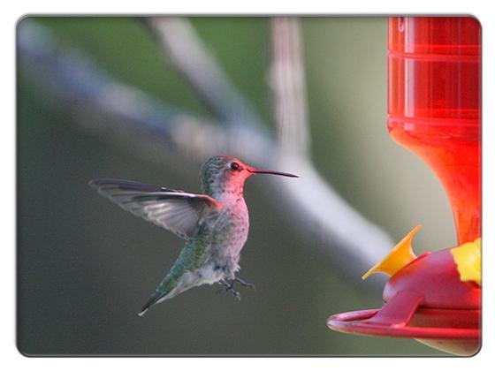 FC2_Humming Bird 1