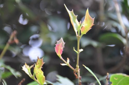ヒイラギの葉っぱのあかちゃん