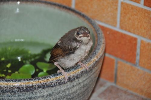 睡蓮鉢のヒナ
