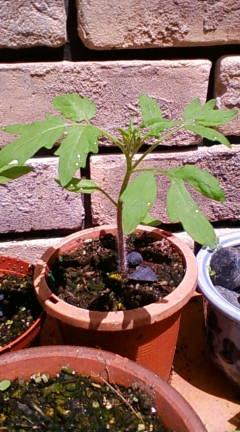 tomato627.jpg