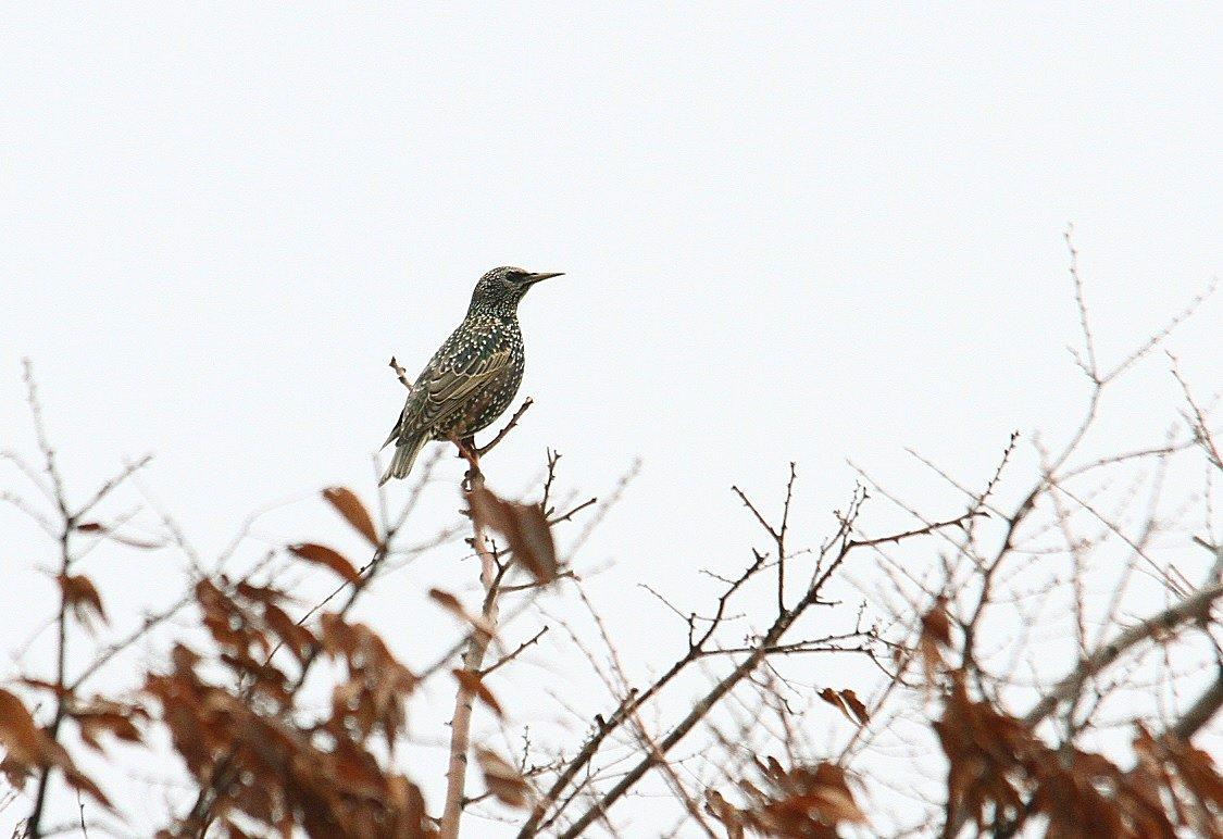 ホシムクドリ2013-12-11-3-40pcs淀川-鳥飼IMG_0347