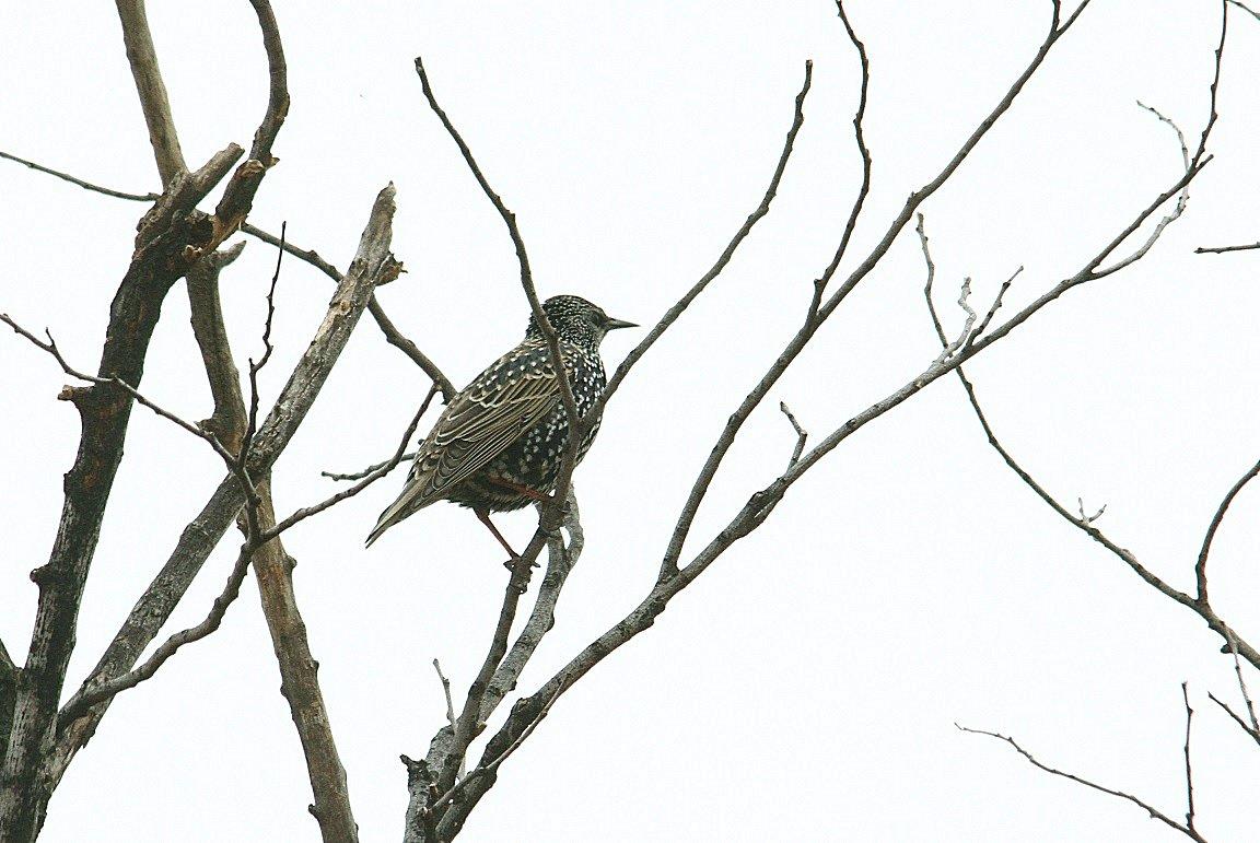 ホシムクドリ2013-12-11-4-40pcs淀川-鳥飼IMG_0373