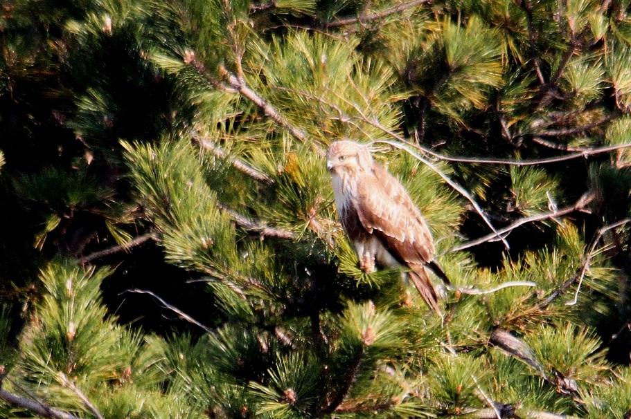 ノスリ2014-1-17-3-60南港野鳥園IMG_0743