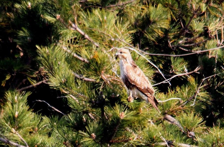 ノスリ2014-1-17-4-60南港野鳥園IMG_0747