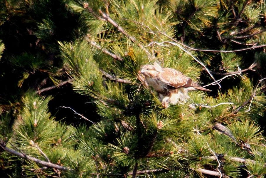 ノスリ2014-1-17-5-60南港野鳥園IMG_0749