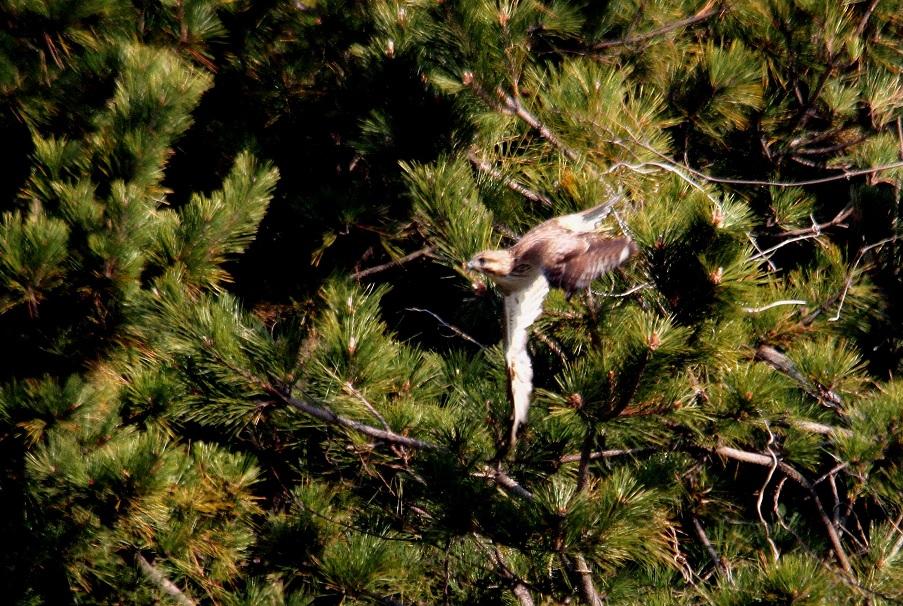 ノスリ2014-1-17-6-40南港野鳥園IMG_0751