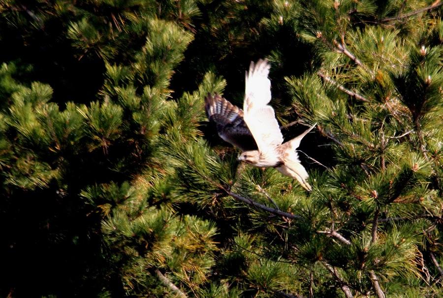 ノスリ2014-1-17-7-40南港野鳥園IMG_0752