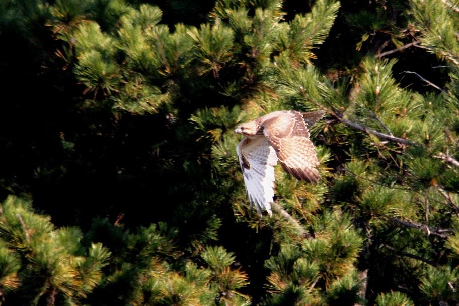 ノスリ2014-1-17-8-40南港野鳥園IMG_0753