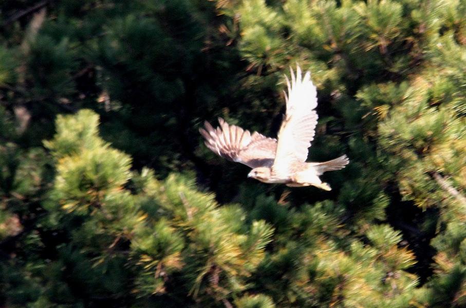 ノスリ2014-1-17-9-40南港野鳥園IMG_0754