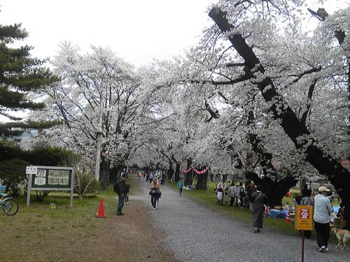 長野牧場の桜祭り