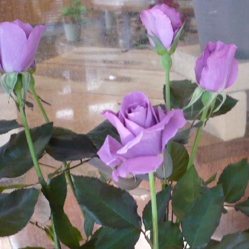 サントリーの青バラ