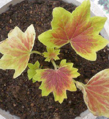 紅葉葉ゼラニウム