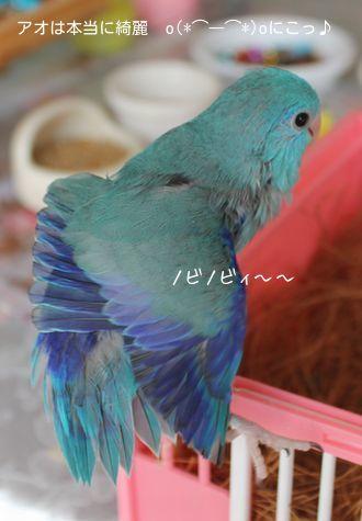 アオの羽根はブルーが綺麗