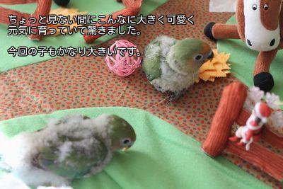 2羽の雛たち里子に