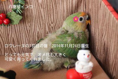 ロワレーヌ1羽目の雛