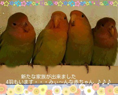 4羽のコザクラ