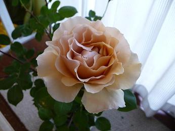 バタースコッチ花