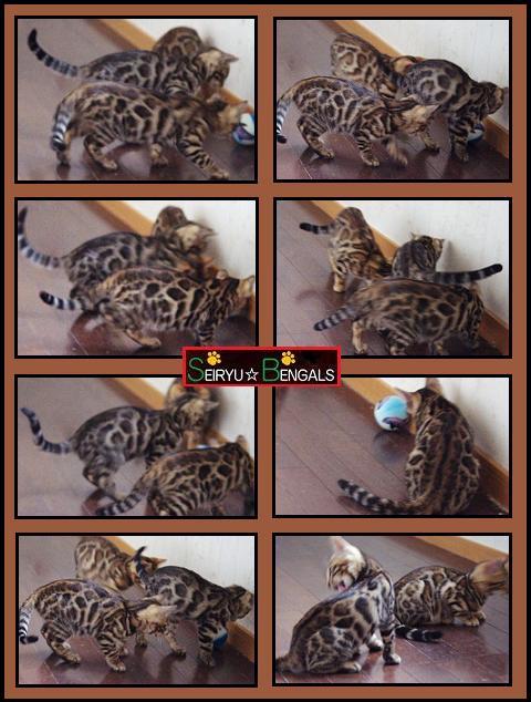 2013SH Kitten