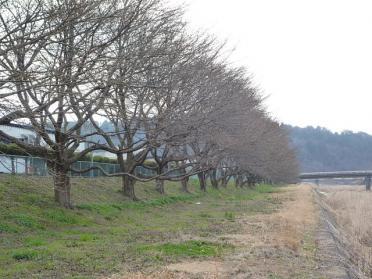 20120330_sakura_005.jpg