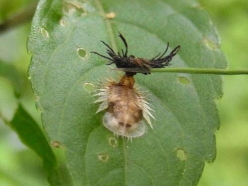 イチモンジカメノコハムシ幼虫. 1_1