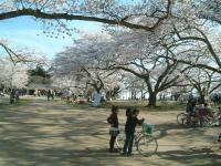 桜2011三神峯公園2