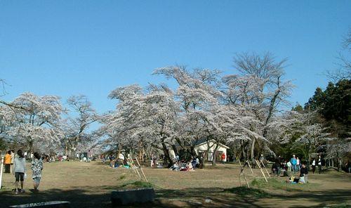 桜2011三神峯公園3