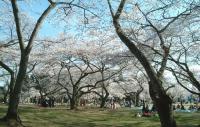 桜2011三神峯公園4