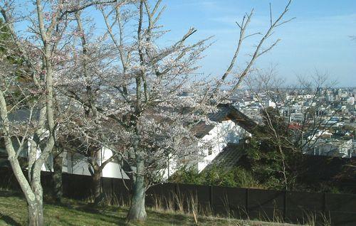 桜2011三神峯公園5